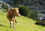Estudo: Alimentar bovinos com macroalgas pode reduzir emissões de metano em 82%