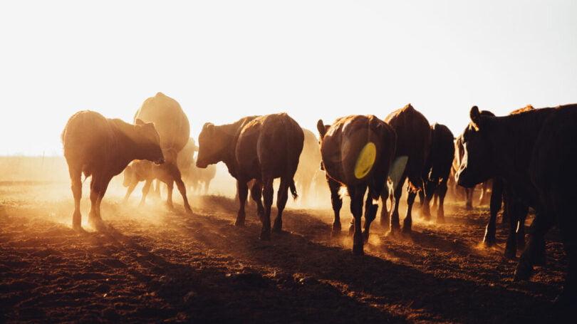 Um estudo descobriu que a indústria da pecuária bovina pode reduzir as emissões de gases de efeito de estufa (GEE) até 50%.