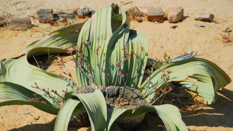 alterações climáticas - crise climática - investigação - estudo - planta - Welwitschia.