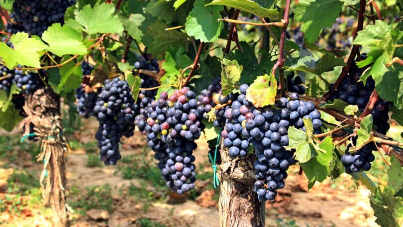 O PreVineGrape é o novo projeto que quer proporcionar à indústria vitivinícola uma solução fungicida de origem natural (biofungicida).